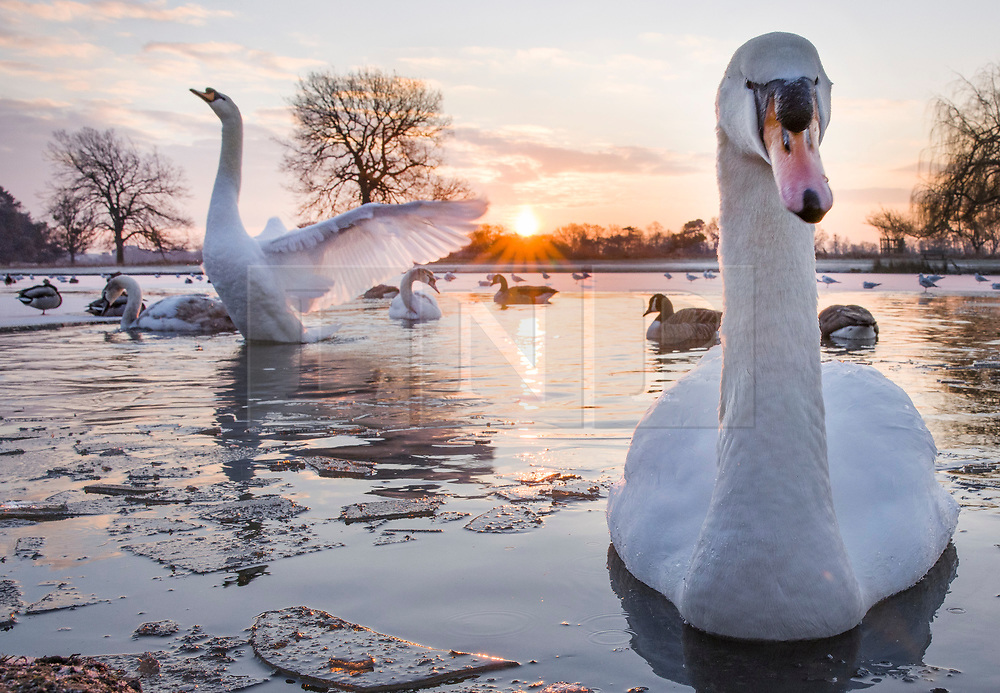 © Licensed to London News Pictures. 11/02/2021. London, UK. Swans amongst the pond ice at a freezing Bushy park, south west London. Overnight temperatures reached -5C in parts of the south east. Photo credit: Peter Macdiarmid/LNP