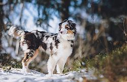 THEMENBILD - ein Hund läuft im Schnee in einem Wald, aufgenommen am 04. Dezember 2020, Piesendorf, Österreich // a dog runs in the snow in a forest on 2020/12/04, Piesendorf, Austria. EXPA Pictures © 2020, PhotoCredit: EXPA/ Stefanie Oberhauser
