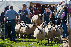 © Licensed to London News Pictures. 13/09/2019. Llanelwedd, Powys, UK. Mules leap in the air after they leave the auction ring.The auction of Welsh mule sheep gets under way at Llanelwedd in Powys, Wales, UK. The commercial breeding Welsh mule ewe is a cross between a Blue-faced Leicester ram and either a Beulah speckled faced  ewe or a Welsh mountain ewe. Photo credit: Graham M. Lawrence/LNP