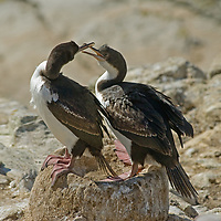 Imperial Cormorants (also called shags) squabble in a nest at a rookery on New Island in Britain's Falkland Islands. (These are also know as blue-eyed or king cormorants [or shags].)