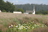 calla lilies on the Mendocino Headlands, with Mendocino Village's Presbyterian Church in the background.