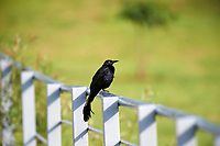 Great-tailed Grackel (Quiscalus mexicanus) perched on fence Lake Chapala, Ajijic, Jalisco, Mexico.
