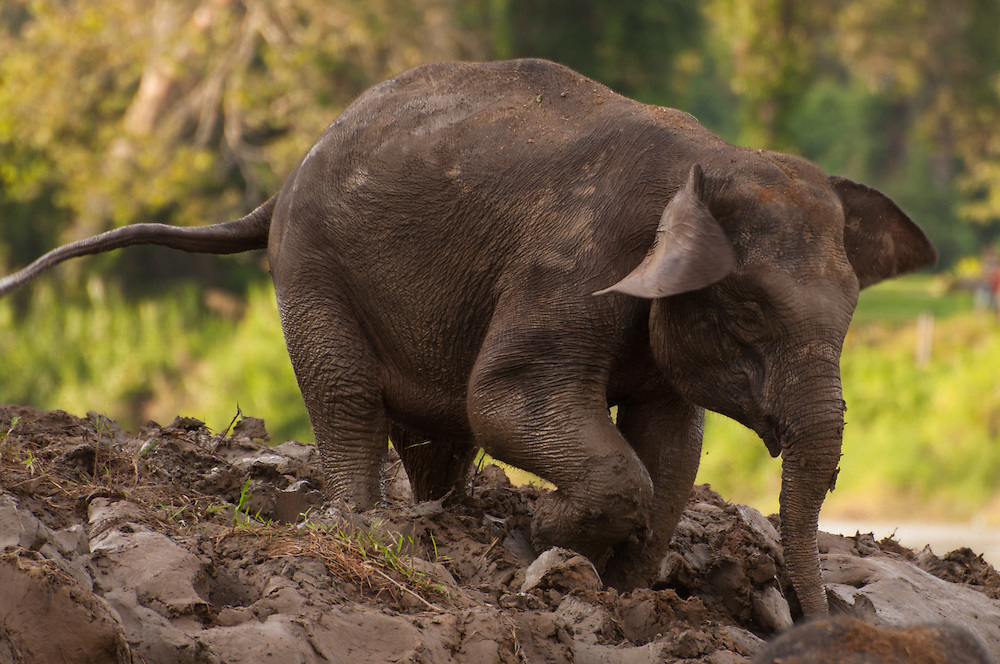 A Borneo Pygmy Elephant (Elephas maximus borneensis) joining the rest of the herd in the Kinabatangan River, Sabah, Malaysian Borneo