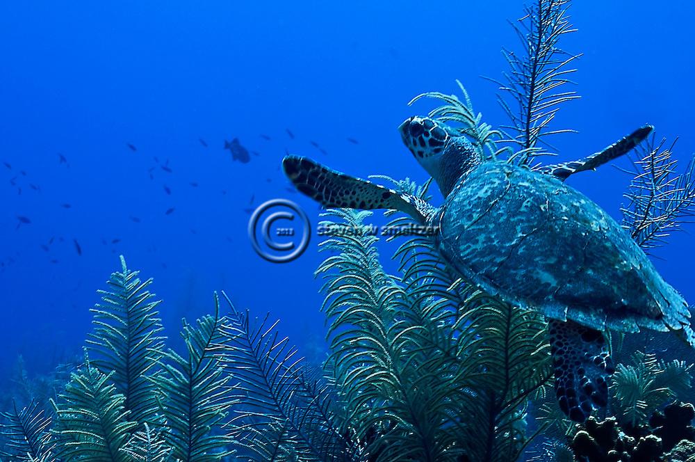Green Sea Turtle, Chelonia mydas, (Linnaeus, 1758), Grand Cayman