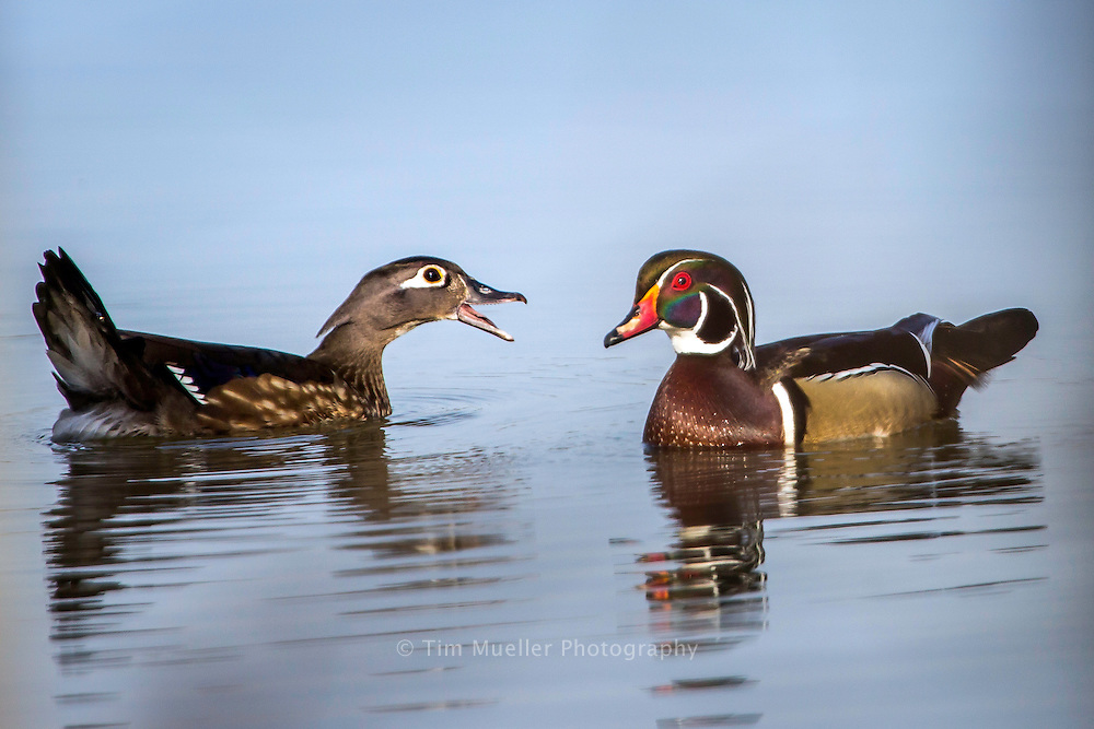 A wood duck couple at LSU lakes near the LSU campus in Baton Rouge, La.
