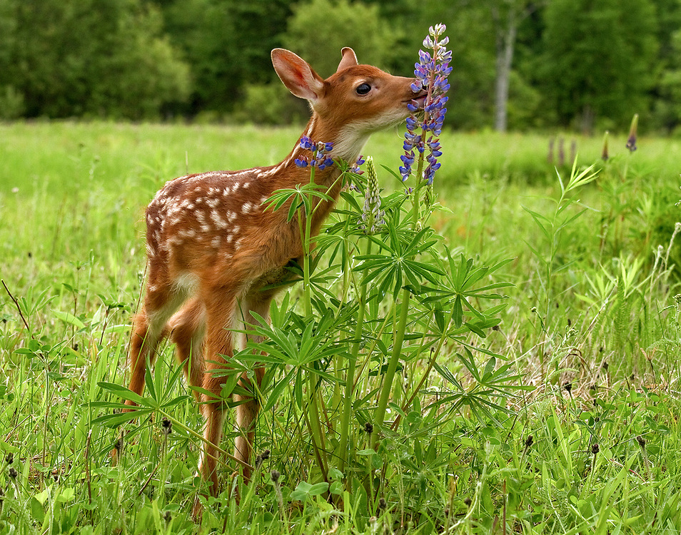 """White tailed deer fawn encountering tall lupine flowers in a field.<br /> <br /> Available sizes:<br /> 14"""" x 11"""" print <br /> 14"""" x 11"""" canvas gallery wrap <br /> <br /> See Pricing page for more information."""