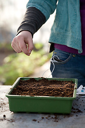 Sowing tomatoes in a seed tray
