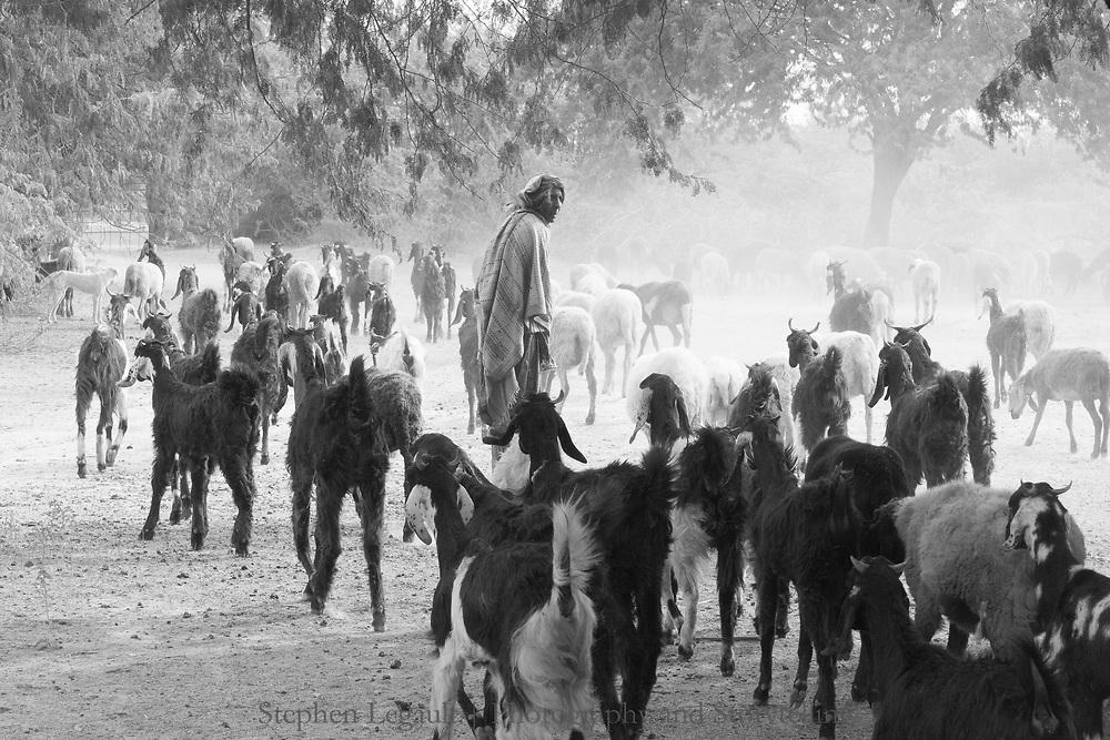 Goat Herding, Gujarat, India