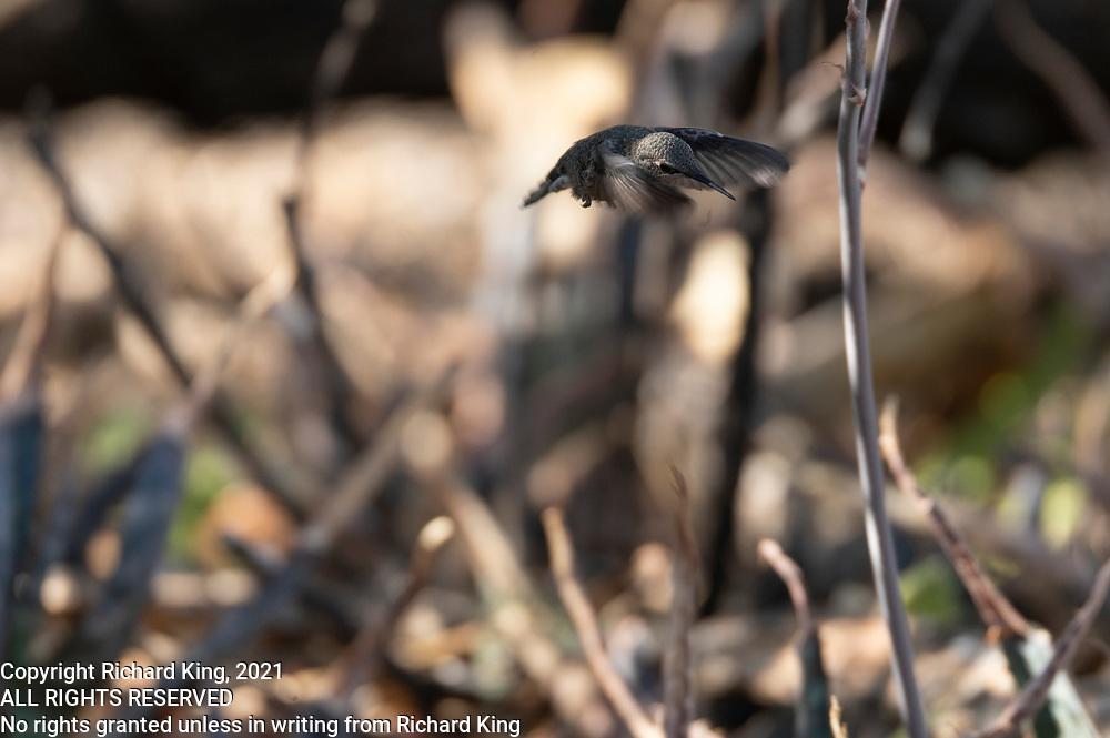 Photograph of an Anna's Hummingbird at Desert Trails in AZ