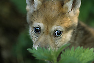 European wolf pup (Canis lupus), Langedrag zoo, Norway. Captive