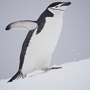 Close up of Chinstrap penguin. Half Moon Island. Antarctica.