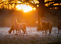 © Licensed to London News Pictures. 07/04/2021. London, UK. Deer forage at dawn in Bushy Park, south west London. Below zero temperatures overnight have brought frost to some parts of the south. Photo credit: Peter Macdiarmid/LNP