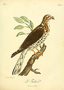 Autour tachiro or African goshawk (Accipiter tachiro) is a species of African bird of prey in the genus Accipiter which is the type genus of the family Accipitridae. from the Book Histoire naturelle des oiseaux d'Afrique [Natural History of birds of Africa] by Le Vaillant, François, 1753-1824; Publish in Paris by Chez J.J. Fuchs, libraire .1799