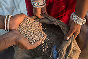 (L-R) Guar farmers Kelavati Devi, 38, and her relative Manju Sankaram hold guar beans in their hands after threshing the crop in their shared field in Rajera village, Bikaner, Rajasthan, India on October 23, 2016. Non-profit organisation Technoserve works with farmers in Bikaner, providing technical support and training, causing increased yield from implementation of good agricultural practices as well as a switch to using better grains better suited to the given climate. Photograph by Suzanne Lee for Technoserve