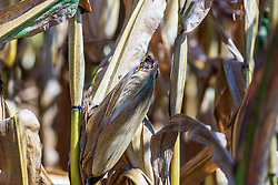 Corn stalks turn to a golden brown and the cornsilk becomes almost black and looks charred as the ears of grain on the corn plant begin to dry and droop as autumn and the fall harvest nears.