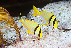 A pair of Porkfish, Anisotremus virginicus, feeding on algae, Sugar Wreck, West End, Grand Bahamas, Caribbean, Atlantic Ocean