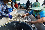 14 MAY 2013 - BANGTATHEN, SAPHUNBURI, THAILAND:    Workers sort shrimp in the bottom of a boat in Saphunburi province of Thailand. Early mortality syndrome, better known as EMS -- or Acute Hepatopancreatic Necrosis Syndrome, (AHPNS) as scientist refer to it -- has wiped out millions of shrimp in  Thailand, the leading shrimp exporter in the world. EMS first surfaced in 2009 in China, where farmers noticed that their prawns had begun dying en-masse, without any identifiable cause. By 2011, shrimp farms in China's Hainan, Guangdong, Fujian and Guangxi provinces were suffering losses as great as 80%. Farmers named the disease based on its immediate effect - Early Mortality Syndrome. After China, EMS devastated shrimp farms in Vietnam and Malaysia. The province of Tra Vinh, Vietnam, saw 330 million shrimp die in the month of June 2011 alone. In Malaysia, where EMS first emerged in 2010, commercial prawn production declined by 42%. EMS hit Thailand in early 2013. As a result of early die offs in Thailand many farmers left their shrimp ponds empty and stores that sell shrimp farm supplies have reported up to 80% drop in business as shrimp farm owners have cut back on buying.       PHOTO BY JACK KURTZ