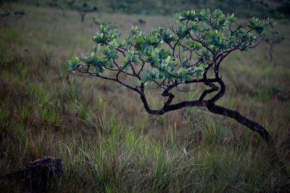Alto Paraiso de Goias_GO, Brasil...Detalhe de um arbusto do Parque Nacional da Chapada dos Veadeiros...Detail of a shurb in Parque Nacional da Chapada dos Veadeiros...Foto: JOAO MARCOS ROSA /  NITRO..