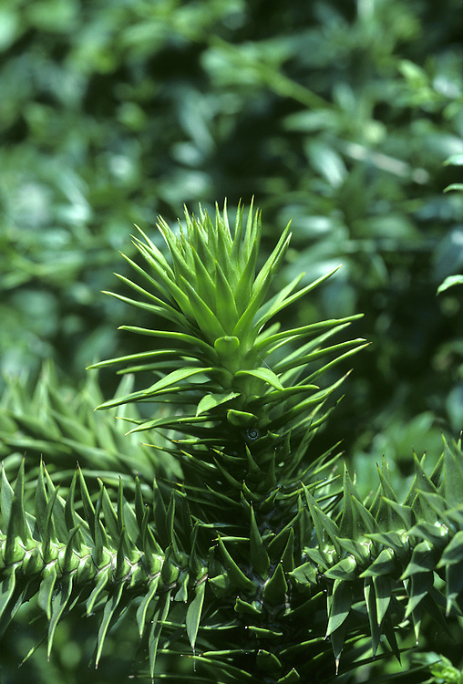 Monkey-puzzle (Chile Pine) Araucaria araucana (Araucariaceae) HEIGHT to 30m. Evergreen, domed to conical tree with a tall cylindrical trunk. BARK Greyish, tough, heavily ridged and wrinkled, with numerous rings of old stem scars. BRANCHES Horizontal or slightly drooping, evenly distributed around trunk. LEAVES 3–5cm long, oval, bright glossy green and scale-like. Tip is triangular with a sharp brownish spine. Leaf base overlaps shoot and next leaf and leaves are arranged in a dense spiral on shoot. REPRODUCTIVE PARTS Male cones, up to 10cm long, in clusters at shoot-tips. Female cones rounded, up to 17cm long and green for first 2 years, growing on upper surface of shoots; large scales taper to a slender outwardly curved point, and conceal 4cm-long, edible brown seeds. Trees are either male or female. HABITAT AND DISTRIBUTION Native of the mountains of Chile and Argentina, first brought to Europe in 1795. Now common as an ornamental tree in parks and gardens. Grows well in towns, but prefers well-drained soils.