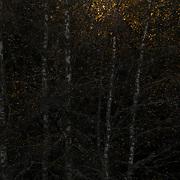 Berkenbomen met enkele bladeren opgelicht door de zon.