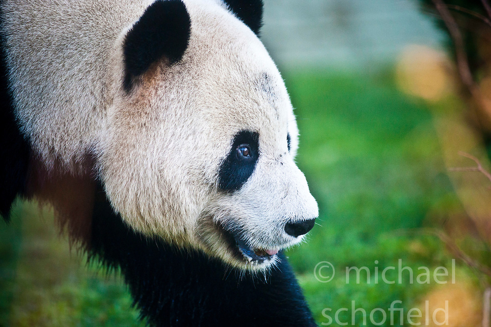 Yang Guang, the male panda, walks through his enclosure, as he makes his first appearance in front of the media since arriving from China on December 12, 2011,  Edinburgh Zoo..Pic © Michael Schofield..
