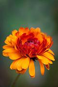 Calendula officinalis 'Indian Prince' - pot marigold