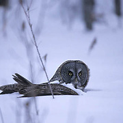 Great Gray Owl, (Strix nebulosa) Adult. Manitoba, Canada. Having dove after mouse in snow.