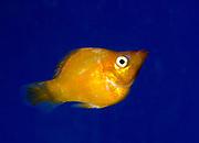 An orange Balloon molly (Poecilia latipinna) swimming in an aquarium at the King's Lynn Koi Centre Norfolk