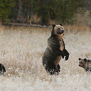 Grizzly Bear (U.a.horribilis) female and her two cubs in Yellowstone National Park during the fall.