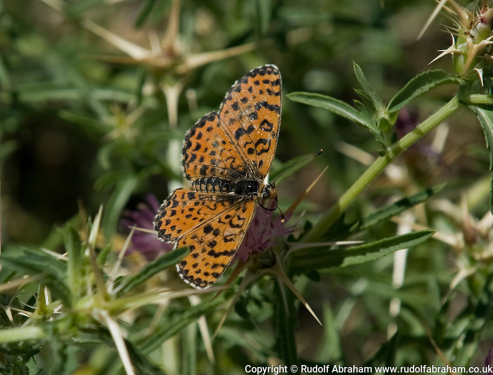 Spotted Fritillary (Melitaea didyma), in the village of Jovici, near the Velebit Channel and Southern Velebit mountains, Croatia