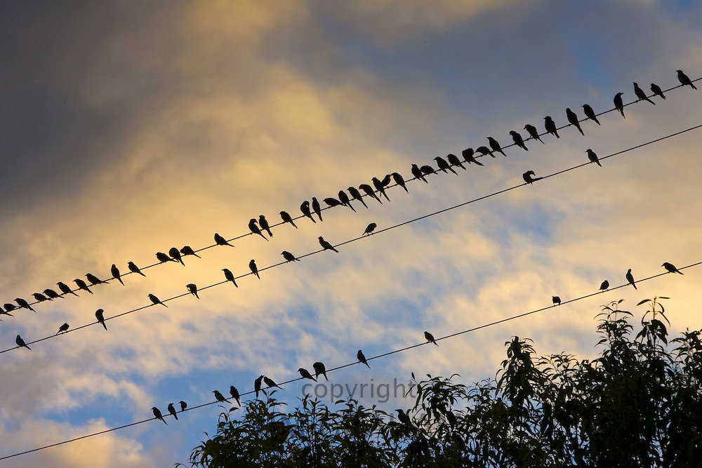 Starlings, Queensland, Australia. Avian Flu Bird Flu virus could spread to wild birds