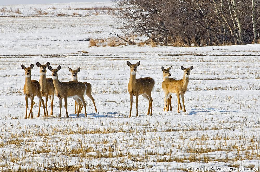 White-tailed deer (Odocoileus virginianus)<br />Souris<br />Manitoba<br />Canada