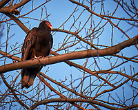 Turkey Vulture in a tree.  Image taken with a Fuji X-T1 camera and 100-400 mm OIS lens (ISO 200, 400 mm, f/5.6, 1/80 sec)