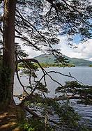 Tree framing Lough Leane and Purple Mountain, Killarney National Park, Ireland