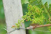 grape bunch in early stage of development chateau la gaffeliere saint emilion bordeaux france