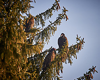 Three Turkey Vultures in a tree. Image taken with a Nikon D4 camera and 80-400 mm VRII telephoto zoom lens (ISO 280, 400 mm, f/5.6, 1/400 sec).