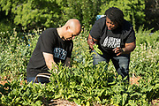 Democratic presidential hopeful Senator Cory Booker, left, helps harvest fresh spinach with Germaine Jenkins, during a visit to Fresh Future Farm April 27, 2019 in North Charleston, South Carolina. Booker spent his 50th birthday helping out at the urban farm as part of his Justice For All tour.