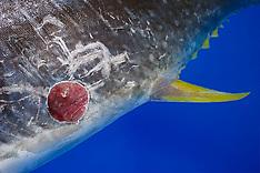 Cookiecutter Shark Wound