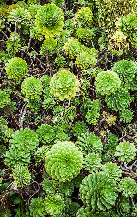 Succulent plants growing on Alcatraz island, a National Historic Landmark on Alacatraz Island in San Fransisco Bay, California, USA.