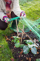 Protecting brassicas (cabbages) with a net