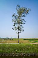 Lone Eucalyptus tree grows in a field of Thai Binh Province, Vietnam<br /> , Southeast Asia