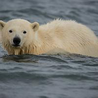 Polar bear cub-of-the-year swimming in the waters of the Beaufort Sea near Kaktovik Alaska on Barter Island.