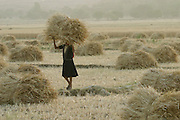IND.MWdrv04.006.x..A girl carries a bundle of harvested wheat in Ahraura Village, Uttar Pradesh, India. {{Ahraura is the home village of the Yadavs?India's participants in Material World: A Global Family Portrait, 1994 (pages: 64-65), for which they took all of their possessions out of their house for a family-and-possessions-portrait.}}.