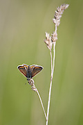 Brown argus butterfly on grass stem