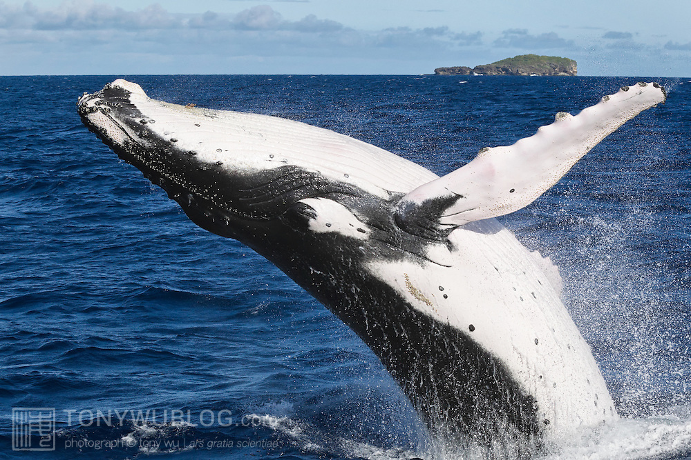 Humpback whales with white dorsal surfaces on their pectoral fins are relatively uncommon around Tonga. They are more common in the northern hemisphere. Here is a humpback whale with white pectoral fins breaching during the 2012 breeding season, when there were an unusually high number of these individuals in the area.