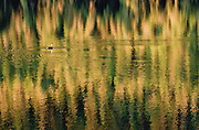 A single duck swims in water which is reflecting the fall colors in the background. Missoula Photographer, Missoula Photographers, Montana Pictures, Montana Photos, Photos of Montana