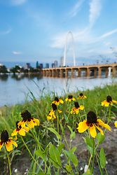 Black-eyed susan wildflowers on banks of Trinity River at flood stage, with downtown and Margaret Hunt Hill Bridge and Continental Avenue Bridge in background, Dallas, Texas, USA