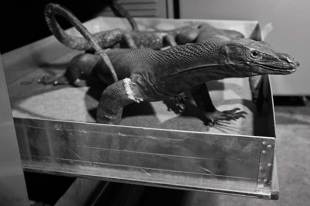 Komodo dragon in a draw, at the Tulane Natural History Museum.