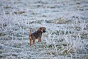 Border terrier puppy taking a stroll in winter landscape, The Cotswolds, UK