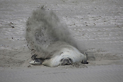 Sea lion rolling in sand on beach